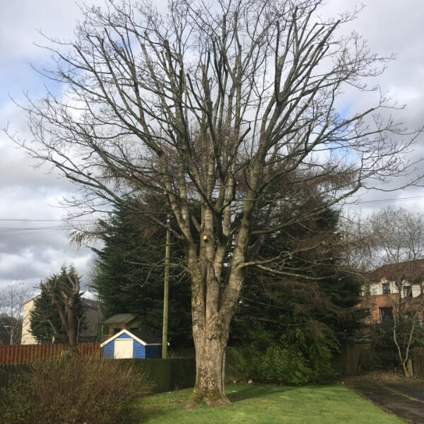image of tree requiring pruning