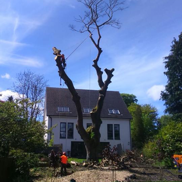 Image of tree being removed by Treewise Tree Surgeons